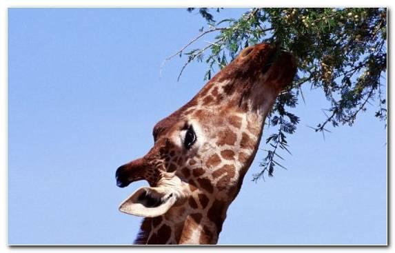 Image Giraffidae Sky Giraffe Terrestrial Animal Snout