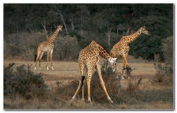 Image Giraffidae Terrestrial Animal Grazing Desert Ecosystem
