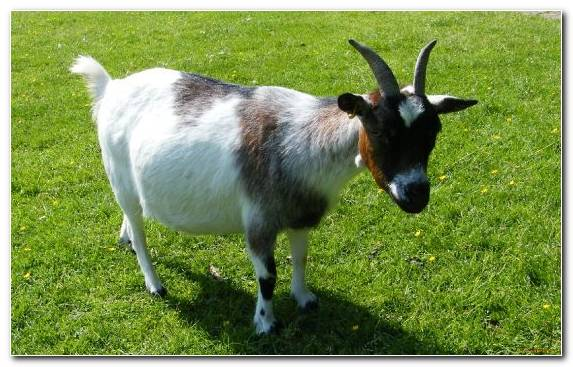 Image goats therapy pasture grass livestock