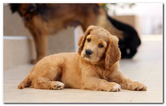 Image Golden Retriever Dog Like Mammal Snout Bark Pet