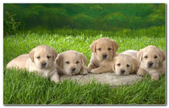 Image Golden Retriever Grass Dog Breed Labrador Retriever Cuteness