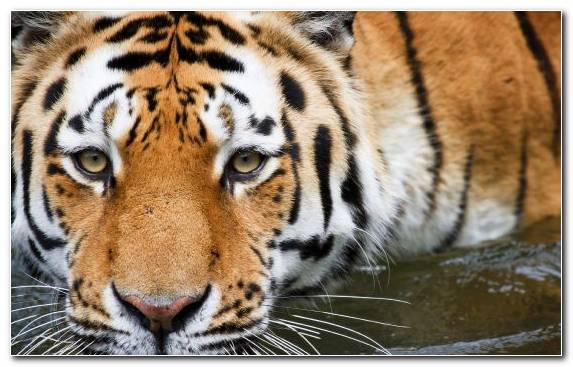 Image Golden Tiger Terrestrial Animal Wildlife Snout Siberian Tiger