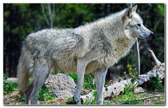 Image Grass Black Wolf Wildlife Wolf Coyote