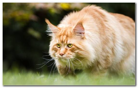 Image Grass Grasses Maine Coon Cat Snout