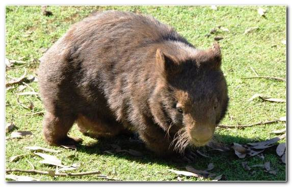 Image Grass Grasses Rodent Terrestrial Animal Marsupial