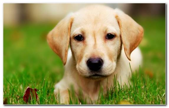 Image Grass Labrador Retriever Puppy Dog Companion Dog