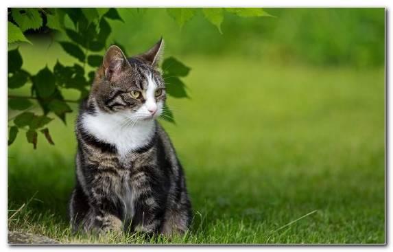 Image Grass Moustache Collar Tabby Cat European Shorthair