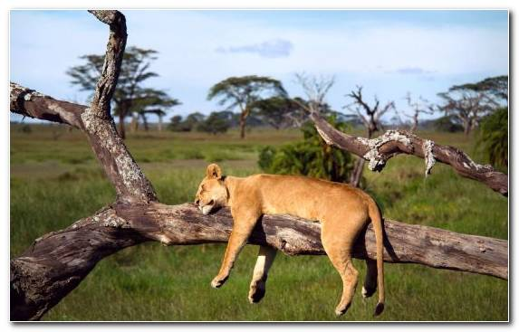 Image Grass Wildlife Lion Sleep Serengeti