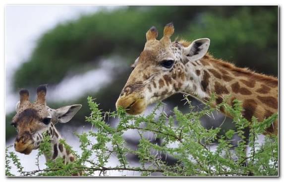 Image Grass Wildlife Northern Giraffe Animal Snout