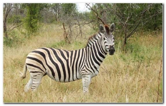 Image Grass Wildlife Quagga Zebra Grazing