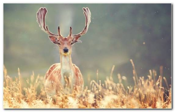 Image Grass Wildlife White Tailed Deer Grasses Reindeer
