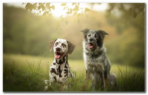 Image Grasses Breed English Setter Australian Cattle Dog Dog Like Mammal