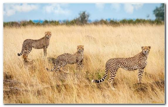 Image Grasses Grassland Cheetah Leopard Shrubland