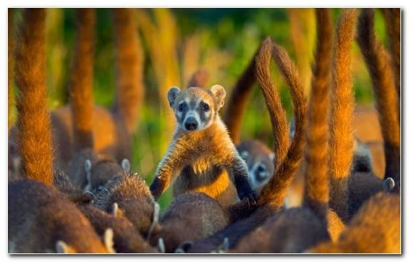 Image Grasses Marsupial Island Raccoon Terrestrial Animal