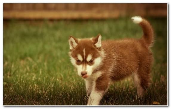 Image Grasses The Siberian Husky Dog Tamaskan Dog Alaskan Malamute