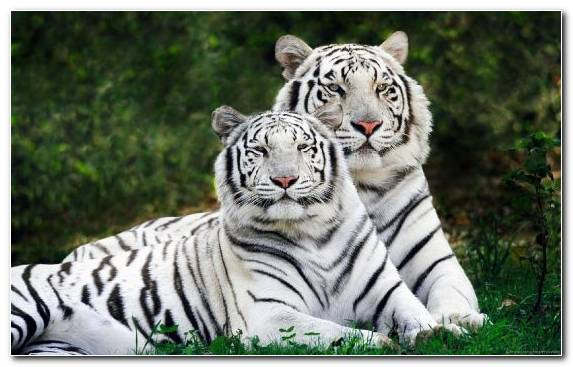 Image grasses white tiger grass lion wildlife