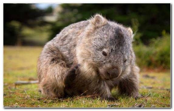 Image Grasses Wildlife Rodent Hobart Terrestrial Animal