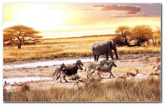 Image Grassland African Elephant Elephant Wildlife Ecosystem