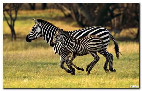 Image Grassland Desert Zebra Savanna Grasses