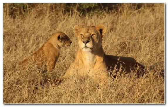 Image Grassland Ecosystem Ecoregion Lion East African Lion