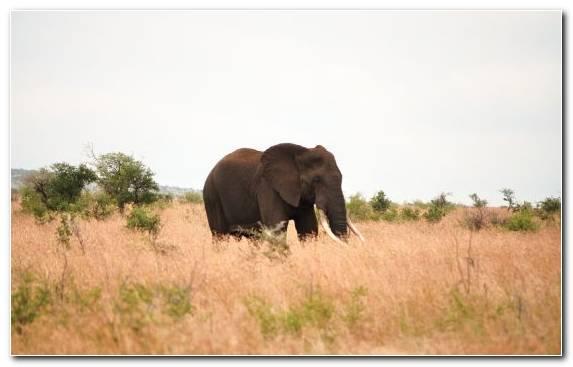 Image Grassland Ecosystem Tusk Grazing Wildlife