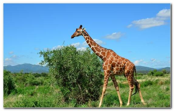 Image Grassland Giraffidae Theria Giraffe Northern Giraffe