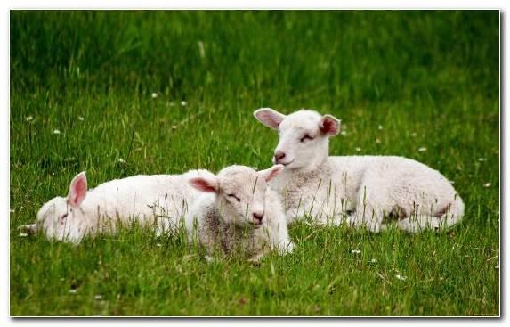 Image Grassland Goat Pasture Grass Grazing