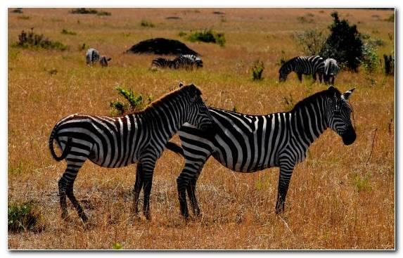 Image Grassland Herd Safari Zebra Terrestrial Animal