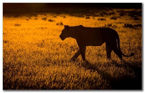 Image Grassland Lion Big Cat Grazing Wildlife