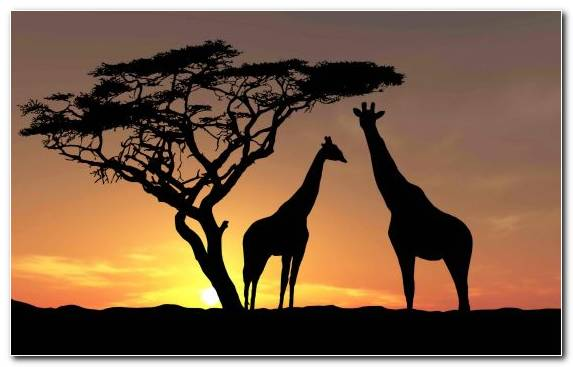 Image Grassland Silhouette Savanna Nature Sunset