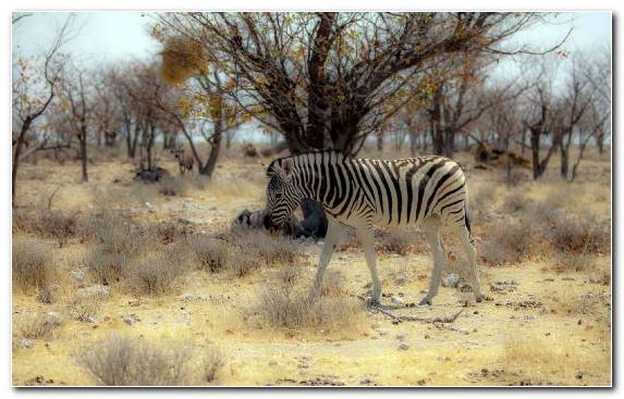 Image Grassland Wildlife Savanna National Park Zebra