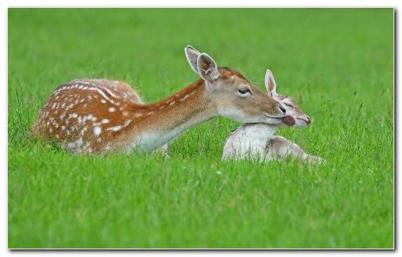 Image Grassland Wildlife Summer Terrestrial Animal White Tailed Deer