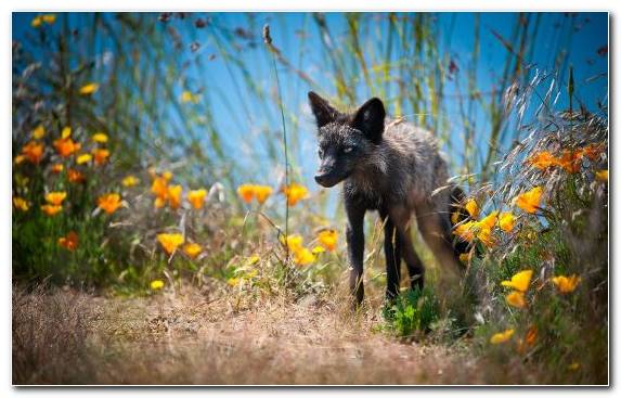Image Gray Wolf Canidae Summer Snout Fox