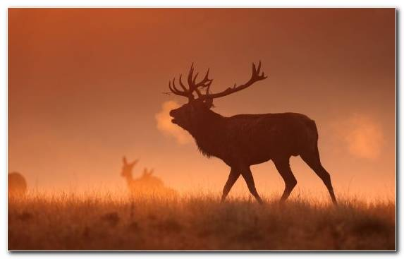 Image Grazing Antler Deer Elk Wildlife