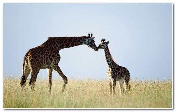 Image Grazing Ecosystem Giraffe Illustration Grassland