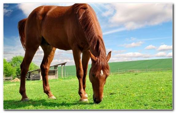 Image Grazing Grass Horse Illustration Horses