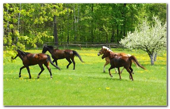 Image Grazing Pasture Arabian Horse Stallion Grass
