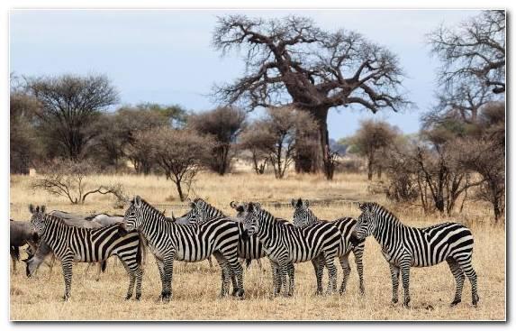 Image Grazing Quagga Safari Savanna Grassland