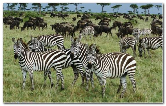 Image Grazing Savanna Zebra Ecosystem Herd