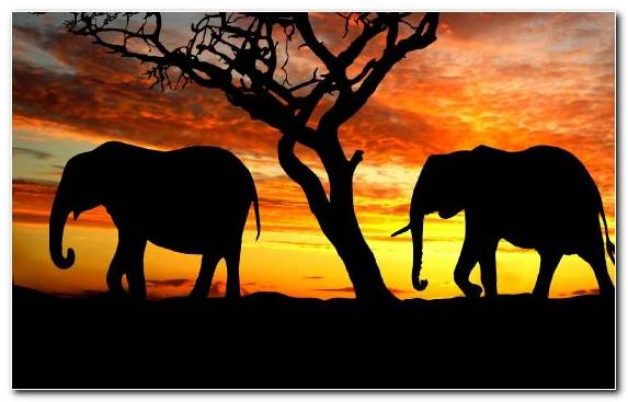 Image Grazing Sky African Elephant Asian Elephant Indian Elephant