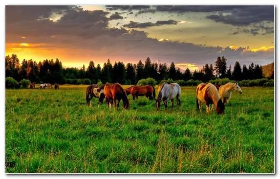 Image Grazing Sky Horse Grass Herd