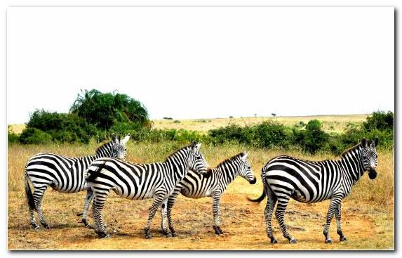 Image Grazing Terrestrial Animal Savanna Animation Zebra
