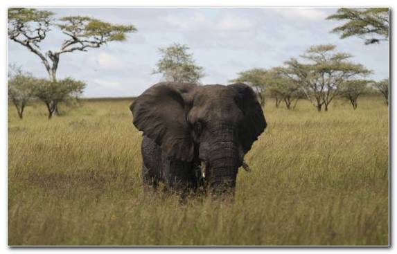 Image Grazing Wildlife Terrestrial Animal Grassland Elephant