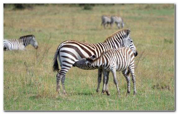 Image Grazing Wildlife Zebra Wilderness Terrestrial Animal