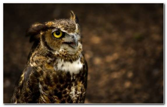 Image Great Horned Owl Bird Bird Of Prey Long Eared Owl Snowy Owl