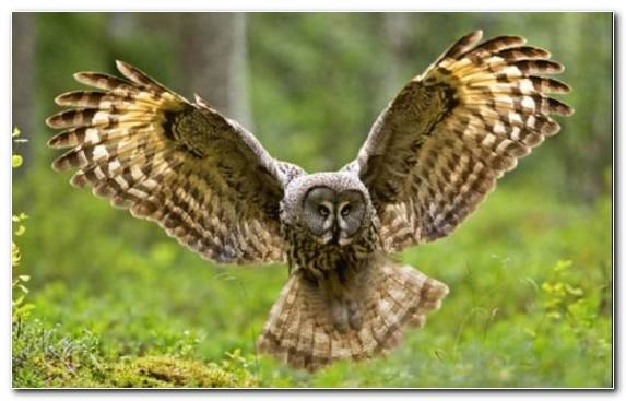 Image Great Horned Owl Terrestrial Animal Eurasian Eagle Owl Snowy Owl Falcon