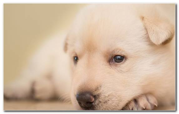 Image Great Pyrenees Puppy Dog Breed Korean Jindo Great Dane