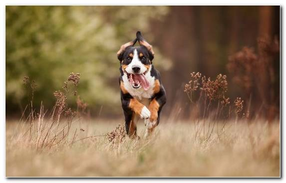 Image Greater Swiss Mountain Dog Nikon Finnish Hound Dog Like Mammal Hound