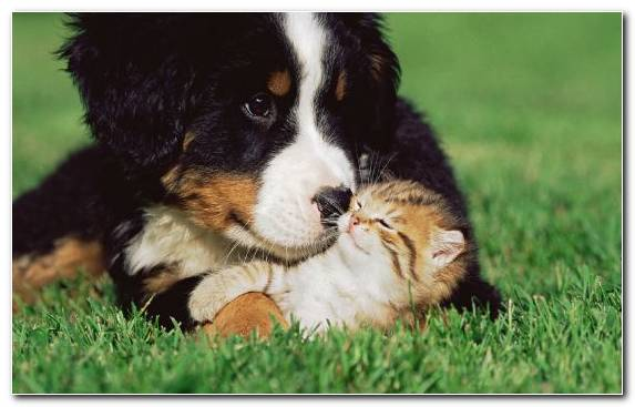 Image Greater Swiss Mountain Dog Siamese Cat Grasses Puppy German Shepherd