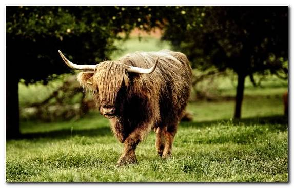 Image Green Fauna Highland Animal Horn